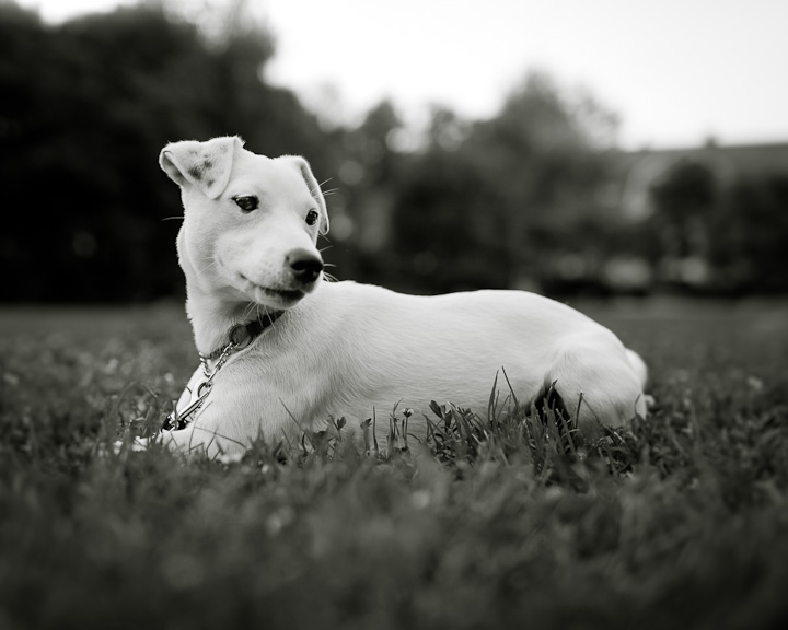 Astro, the white Parson Russel Terrier, relaxing in the park. Svandammsparken, Midsommarkransen, Stockholm, Sweden.