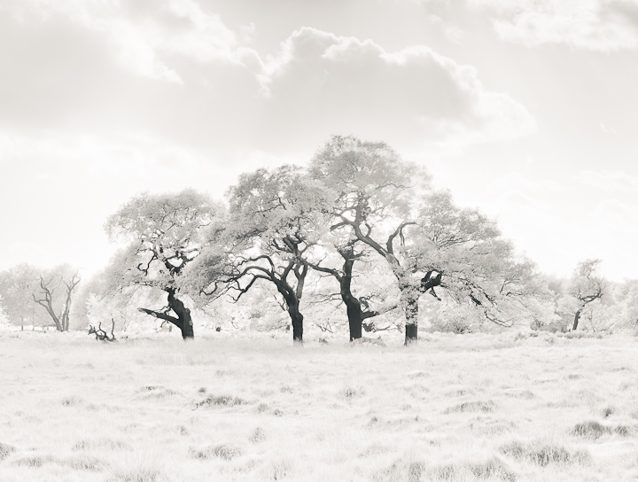 The Holt, Richmond Park, London, UK. Infrared high key image. Bright white.